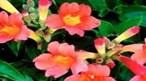 climbing plants perfect for trellis and arbors youtube