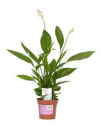 peace lily verve peace lily in plastic pot departments diy at b u0026q