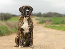 boxer dog pros and cons boxador dog breed everything about boxer lab mixes