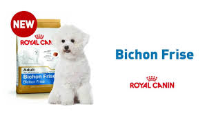 bichon frise 17 years old bichon frise youtube