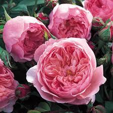 Fragrant Rose Plants - rose u0027the alnwick rose u0027 ausgrab