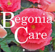 19 best begonia growing care images on pinterest tuberous