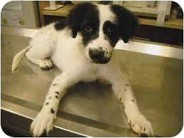 australian shepherd breeders california kate and kim adopted puppy beverly hills ca dalmatian
