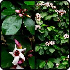 Tropical Fragrant Plants - the delicate deliciousness of exotique eleganza strophanthus