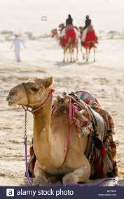Arabian Desert Map Saudi Arabia Camels In Desert Stock Photos U0026 Saudi Arabia Camels