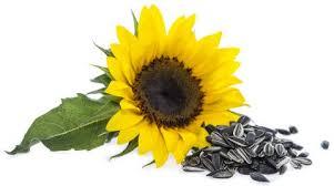 sunflower seeds benefits nutrition u0026 recipes