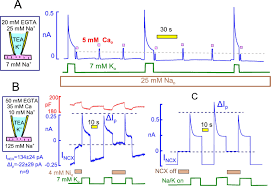 profound regulation of na k pump activity by transient elevations