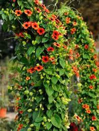 kletterpflanzen fã r balkon kletterhortensie hydrangea petiolaris