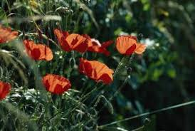 planting poppy seeds killing the weeds home guides sf gate