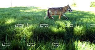 chambre d agriculture de la meuse région meuse sans doute deux loups