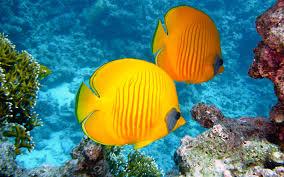 butterfly fish lemon yellow color desktop wallpaper hd