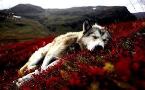 spirit halloween palmdale ca beautiful siberian husky sleeping peacefully in the nature