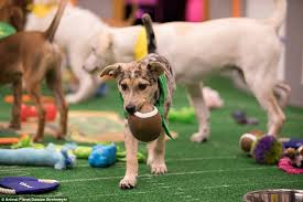 Team Fluff Win The Lombarky Trophy Again In The Puppy Bowl Daily