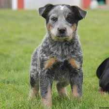 bluetick coonhound kennels in ga blue heeler puppies for sale greenfield puppies