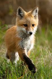 Fox In The Barn Best 25 Fox Pups Ideas On Pinterest Baby Red Fox Baby Foxes