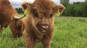scottish highland cattle in finland ora the calf who likes to