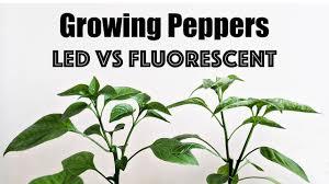 t5 vs led grow lights growing peppers led vs fluorescent youtube