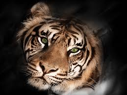 tiger black and white wallpaper myluo by whitemale1961 on deviantart