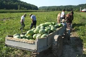 Watermelon Farming In Nigeria Naij Com