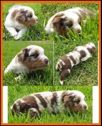 3 week old australian shepherd puppy callie u0027s litter 1 pup2 red merle harlequin female miniature