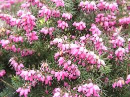 Pink Spring Flowering Shrubs - complete index of flowers plants and shrubs listed by their