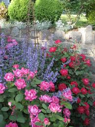mix of knockout roses and catnimp very pretty for backyard raised