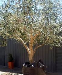 ornamental olive tree garden