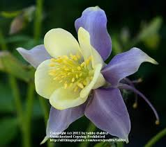 columbine plant columbines plant care and collection of varieties garden org
