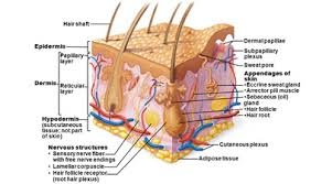 Human Anatomy Integumentary System Integumentary System Of Human Body Definition And Information
