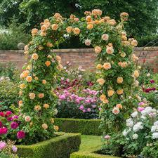 crown princess margareta climbing roses type
