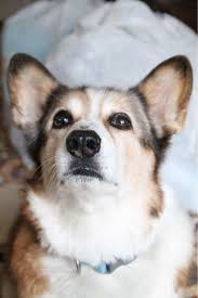 best 25 queen u0027s corgis ideas on pinterest corgi corgis and
