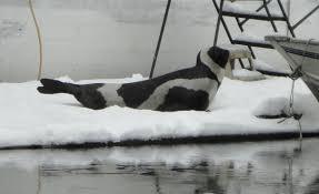 Seal Ribbon Ribbon Seals In The Salish Sea Encyclopedia Of Puget Sound