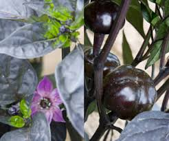 10 Tips For Growing Peppers by How To Grow Great Peppers Tips For Successful Pepper Transplants