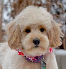poodles long hair in winter goldendoodle haircuts goldendoodle grooming timberidge goldendoodles