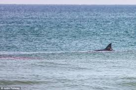 Great White Shark Attack Cape Cod - cape cod beach sees 2nd shark attack on seal in 2 weeks daily