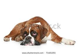1 year old boxer dog boxer dog stock images royalty free images u0026 vectors shutterstock