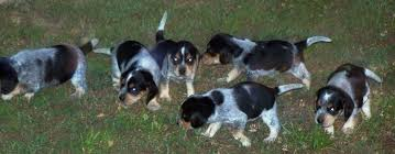 bluetick coonhound rabbit hunting batch of bluetick pups rabbit dogs the rabbit hunting beagle