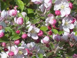 apple tree bloom wallpapers mt evereste brandt u0027s fruit trees