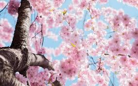 blossom trees cherry blossom trees the wedding guide uk