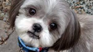 haircuts for shih tzus males the cutest shih tzu photo gallery
