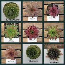 Succulent Rock Garden by Sempervivum Choose Your Winter Hardy Hens And Chick Succulent