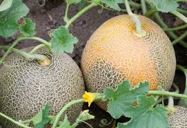 Plants Diseases And Treatment - melon problems prevention and treatment planet natural