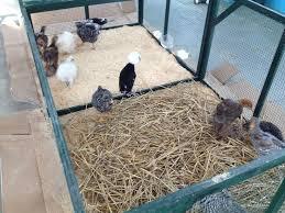 gabbia per pulcini progetto ecologico orticoltura e allevamento live sett 69