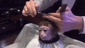 Meme Monkey - monkey haircut know your meme