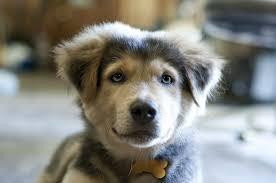 australian shepherd husky all my life i u0027ve wanted a dog and finally it u0027s happened meet my
