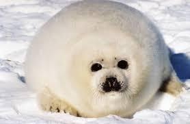 Chubby Meme - create meme chubby the seal chubby the seal harp seals seal