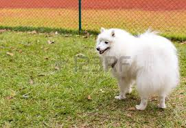 american eskimo dog chicago american eskimo dog stock photos u0026 pictures royalty free american