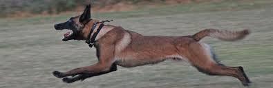 belgian sheepdog rescue texas tri city animal shelter desoto tx official website