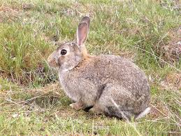 Diseases In Plants And Animals - about european rabbit european rabbit a z of pest animals