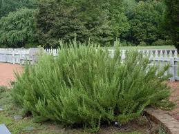 growing rosemary bonnie plants